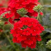 trdgrdsverbena-scarlet---3-plantor-1
