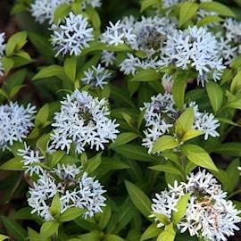 amsonia-blue-ice-9cm-kruka-1