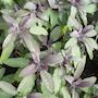 kryddsalvia-purpurascens-12cm-kruka-2