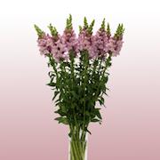 snittblomma-lejongap-lavender-3-plantor-1