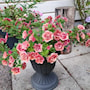 minipetunia-can-can-rosies-apricot-105cm-kruk-1