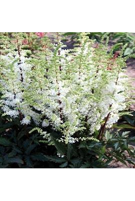 astilbe-whiteberry-3st-barrotad-1