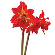 afrikansk-amaryllis-samburu-1st-1