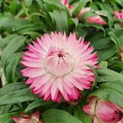 jtteeternell-sunbrella-pink-105cm-kruka-1