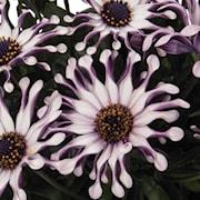 stjrnga-margarita-white-spoon---3-plantor-1