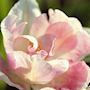 sen-fylld-tulpan-anglique-7st-1