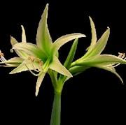 amaryllis-evergreen-1st-1