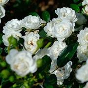 buskros-white-fairy-20cm-kruka-1