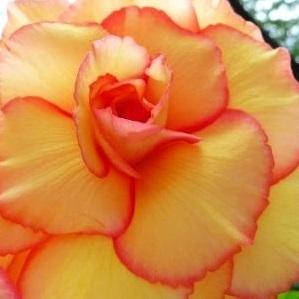 Begonia 'Gul Picotee' 3st