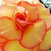 begonia-gul-picotee-3st-1