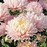 snittblomma-sommaraster-apricot-3-plantor-1