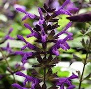 paranasalvia-purple-and-bloom-105cm-kruka-1