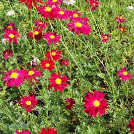 rosenkrage-robinsons-red-9cm-kruka-1