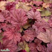 alunrot-berry-smoothie-12cm-kruka-1