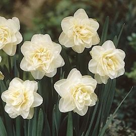 stjrnnarciss-obdam-10st-1