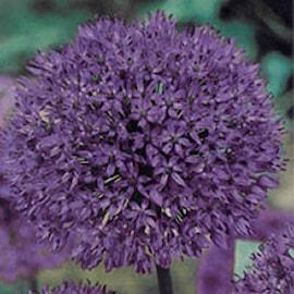 allium-purple-sensation-storpack-1