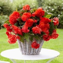 begonia-odorata-red-glory-2st-1