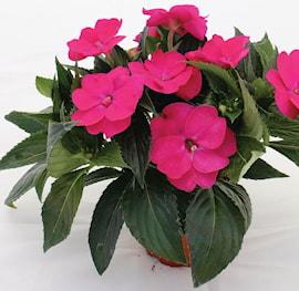 lyckliga-lotta-sunpatiens-vigorous-rose-pink-1