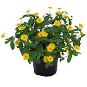 husarknapp-santiago-bright-yellow-105cm-kruka-1