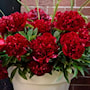 pion-red-charm-1st-1