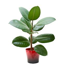 fnsterfikus-robusta-12cm-kruka-1
