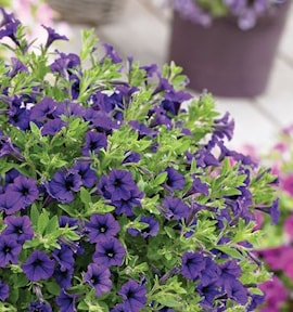 petunia-vivini-blue-105cm-kruka-1