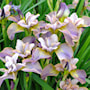 iris-unbottoned-zibbers-1st-barrotad-1