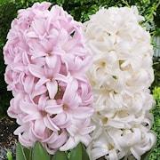 hyacint-pinky-mix-5st-1