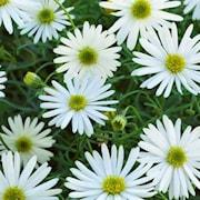dockkrage-surdaisy-white---3-plantor-1