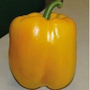 paprika-gul-tenor-105cm-kruka-1