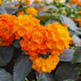 eldkrona-orange-stam-17cm-kruka-2