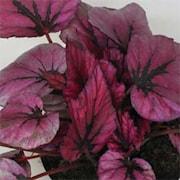 begonia-beleaf-inca-night-12cm-kruka-1