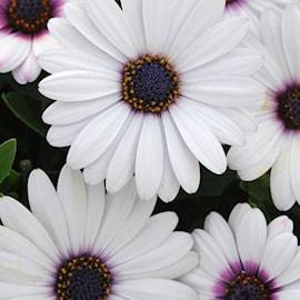 stjrnga-summersmile-rosy-white---3-plantor-1