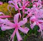 nerine-bowdenii-pink-2st-1
