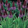 hyacintviva-orchid-primrose-3