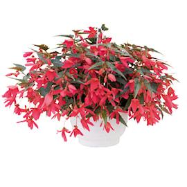 boliviabegonia-groovy-rose-105-cm-kruka-1