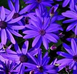 cineraria-senetti-deep-blue-1