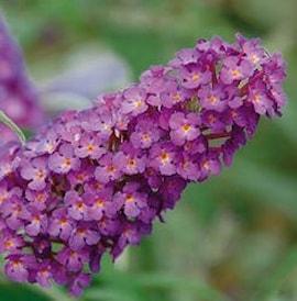 buddleja-buzz-pink-purple-105cm-kruka-1