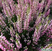 ljung-garden-girls-rosa-11-12cm-kruka-1