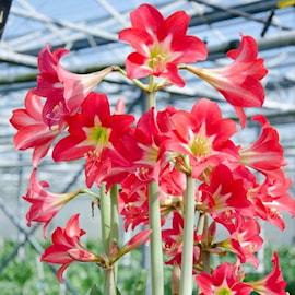 amaryllis-striped-garden-1