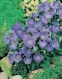 karpaterklocka-blue-3