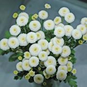 snittblomma-mattram-baya-3-plantor-1