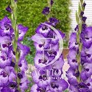 gladiolus-vista-7st-1