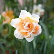 stjrnnarciss-replete-5st-1
