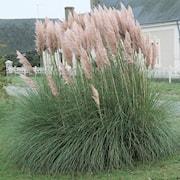 pampasgrs-rosa-9cm-kruka-1