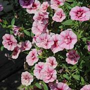 minipetunia-can-can-pink-vein-105cm-kruka-1