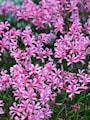 nerine-bowdenii-pink-2st-4