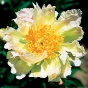 luktpion-green-lotus-1st-barrotad-1