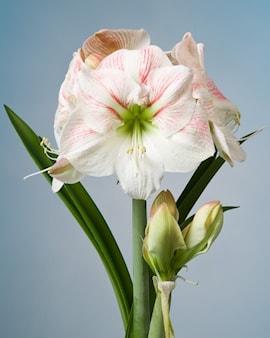 amaryllis-princess-claire-1