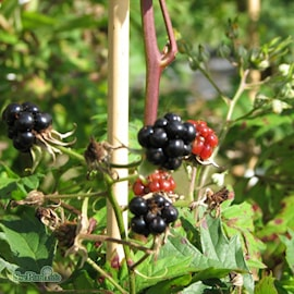 bjrnbr-thornless-evergreen-15-2l-co-1